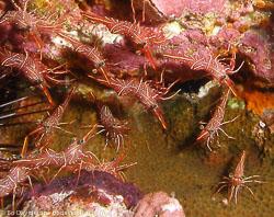 BD-070404-Similan--Rhynchocinetes-durbanensis.-Gordon.-1936-[Hingeback-shrimp].jpg